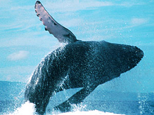 Japón se lanza a la caza de la ballena jorobada tras el fin de la moratoria internacional